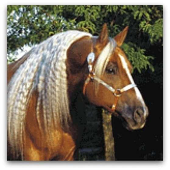 saillie étalon quarter horse palomino