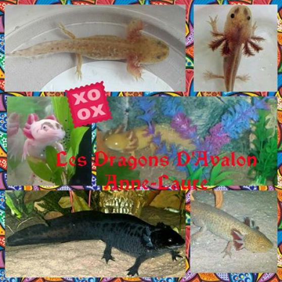 les bébés axolotls ambystoma mexicanum