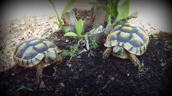 Annonce occasion, vente ou achat 'tortue grecque'