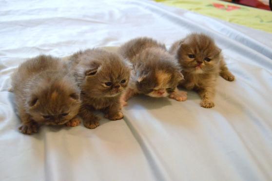 chatons persans