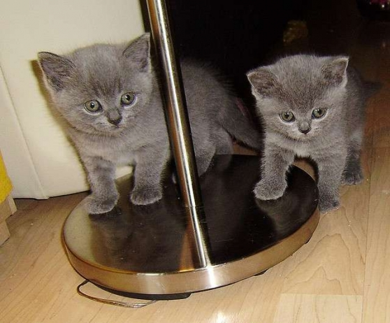 Chatons D Apparence Chartreux Non Loof Marche Fr