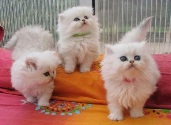 Magnifique chatons persan - Marche.fr
