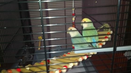 couple oiseaux inseparable