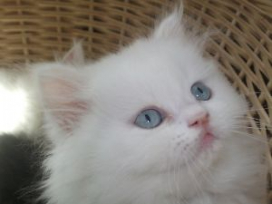 Magnifiques chatons Persan