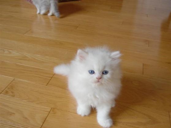 Magnifiques chatons Persan - Photo 2