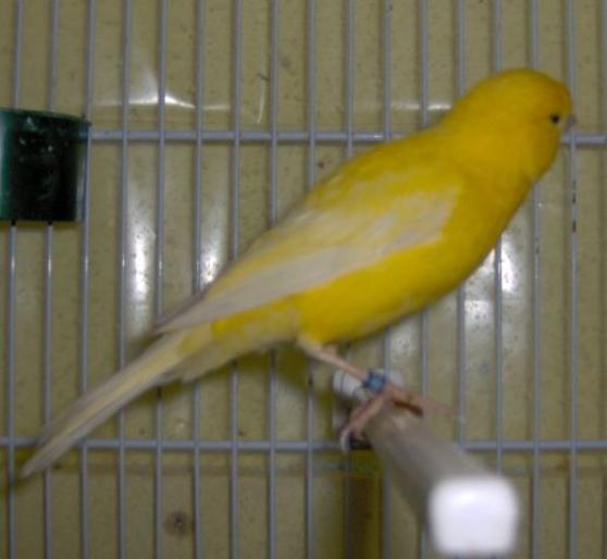 canari, oiseau bec droit