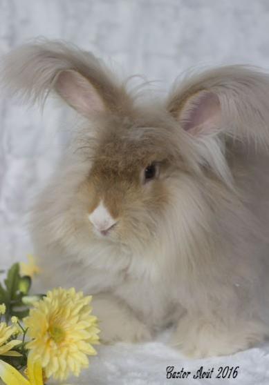 Petite Annonce : Lapin angora anglais - Disponible à l \'adoption lapin Angora anglais mâle de couleur Gris
