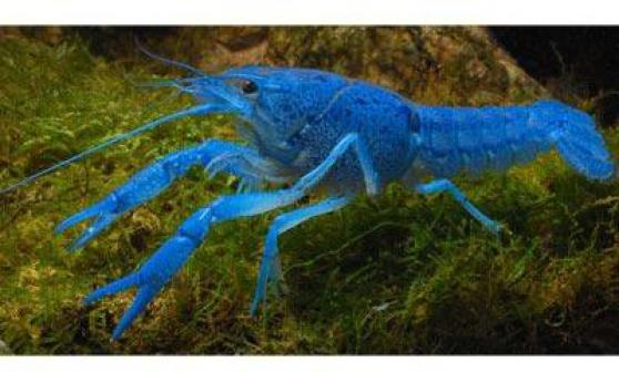 Annonce occasion, vente ou achat 'Ecrevisses Alleni (Bleue de Floride)'