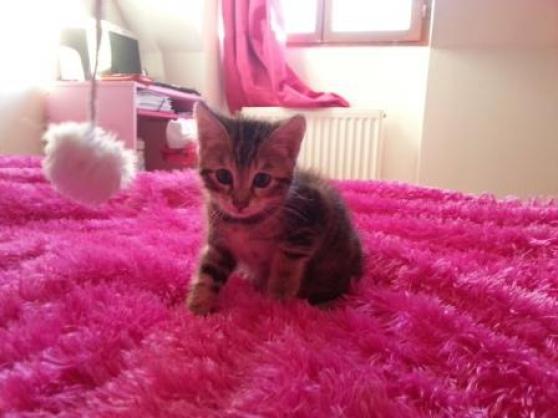 superbe chaton mâle type angora turc sev