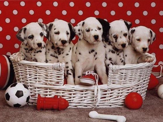 chiots dalmatien - Annonce gratuite marche.fr