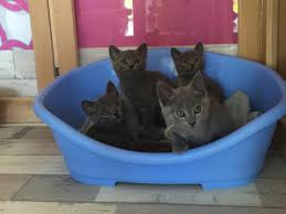 chatons chartreux - Annonce gratuite marche.fr