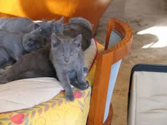 chatons chartreux loof à aix-en-provence - Annonce gratuite marche.fr