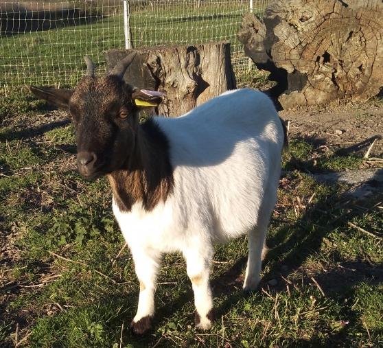 Annonce occasion, vente ou achat 'Chèvre demi naine'