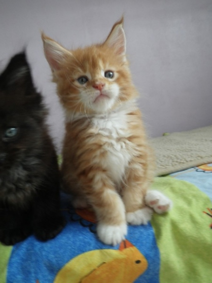 Superbes chatons maine coon - Marche.fr