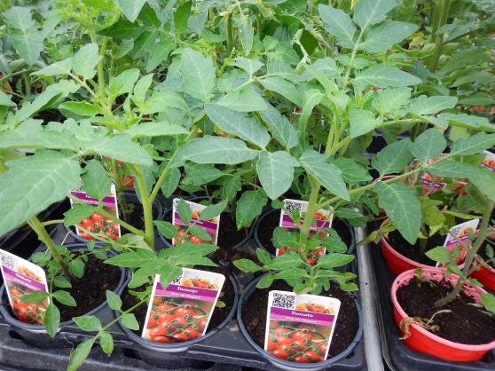 63 variétés de plants de tomates
