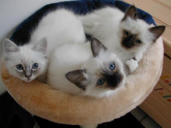 chatons sacre de birmanie - Annonce gratuite marche.fr
