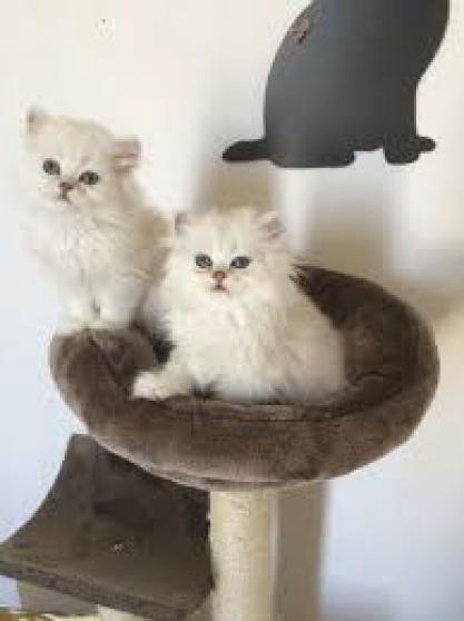 chatons persan - Annonce gratuite marche.fr