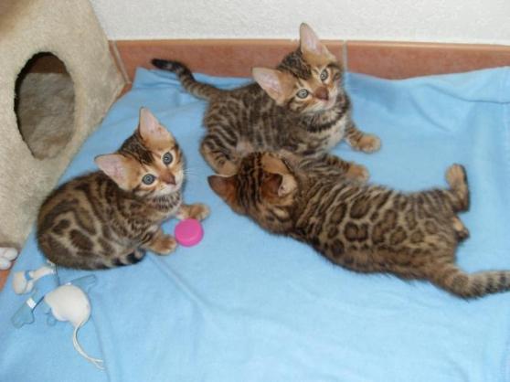 chatons bengal - Annonce gratuite marche.fr