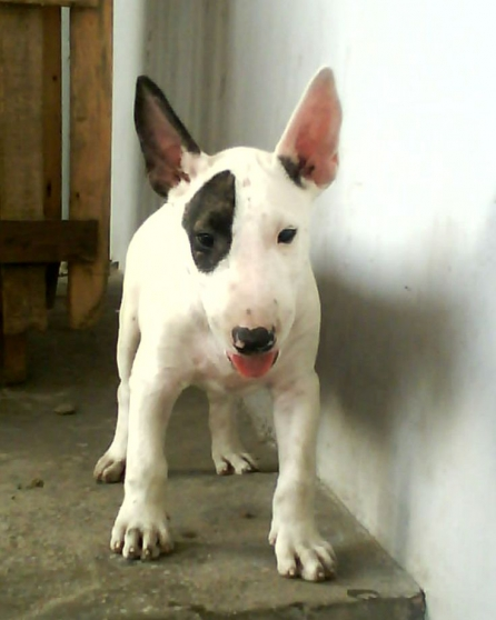 Petite Annonce : Chiots bull terrier - Chiots agés de trois mois incrits au LOF issue d\'une portée de 7