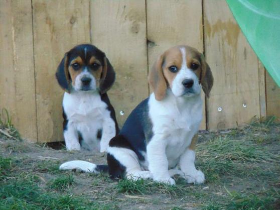 Petite Annonce : Chiots beagle - Chiots agés de trois mois incrits au LOF issue d\'une portée de 7