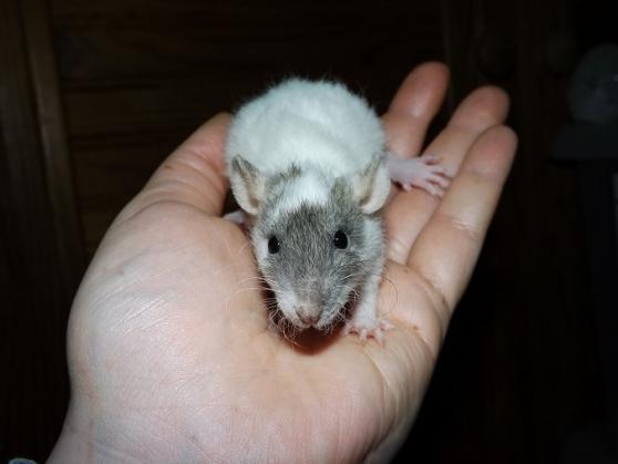 A adopter bébés rats ratons mâles rex / - Photo 3