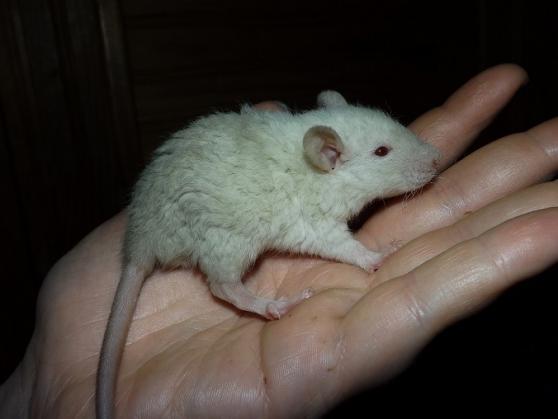 A adopter bébés rats ratons mâles rex / - Photo 4