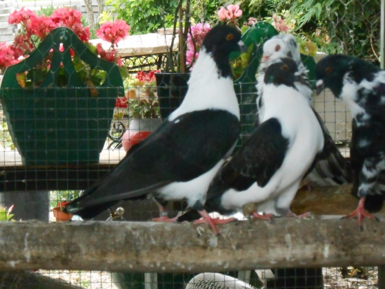 pigeon de race strasser - Photo 3
