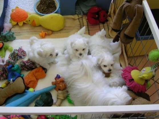 cadeau de no l 3 chiots bichon maltais montpellier animaux chiens montpellier reference. Black Bedroom Furniture Sets. Home Design Ideas