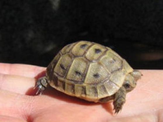 Vend 10 b b tortue terreste animaux animaux divers for Montereau fault yonne code postal