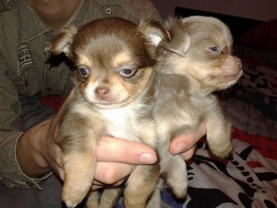 2 Adorables chiots chiwuawua.