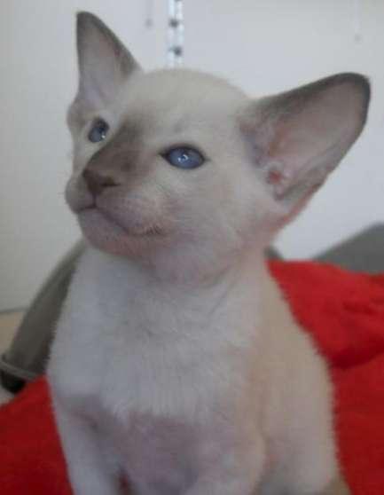Magnifique chaton Sphynx