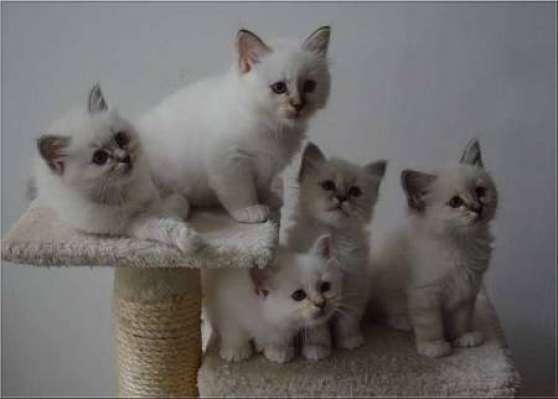 Magnifiques chatons sacres de birmanie l