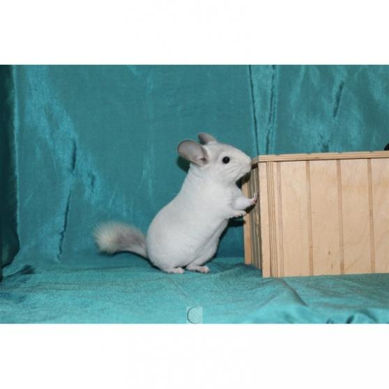 7 irrésistibles bébé chinchilla 3 mois