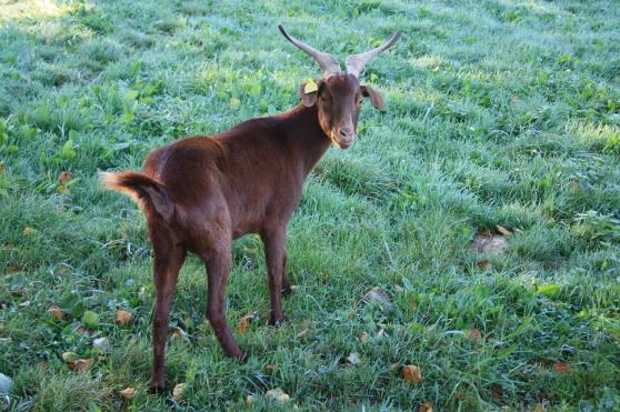 Annonce occasion, vente ou achat 'Chèvres du Rove'