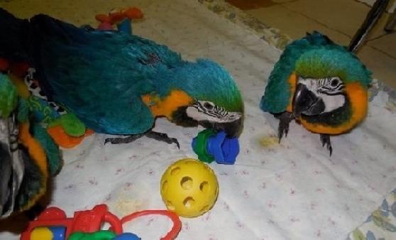 Annonce occasion, vente ou achat 'couple perroquets aras plus cage'