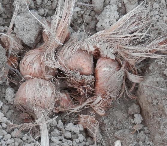 Annonce occasion, vente ou achat 'Bulbes de safran pour été 2019'