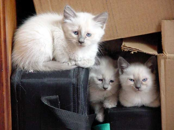 2 chatons de race sacre de Birmanie