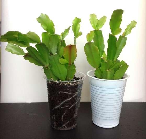 boutures avec racines de cactus de no l jardin nature fleurs le chesnay reference jar fle. Black Bedroom Furniture Sets. Home Design Ideas