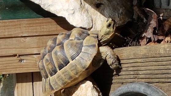 vente couple tortue - Annonce gratuite marche.fr