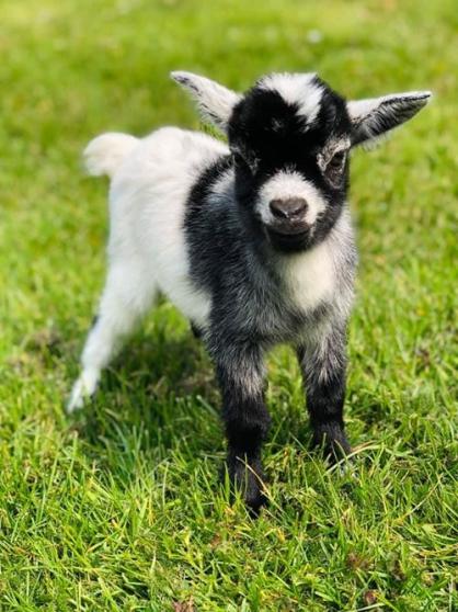 chèvre mini naine toy