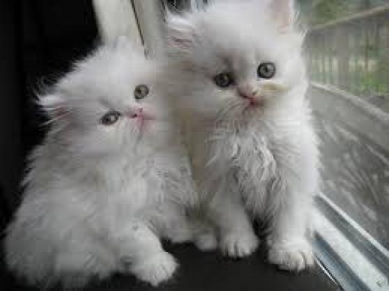 3 magnifiques chatons Persan