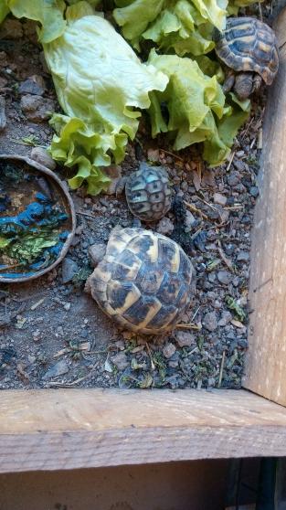 Annonce occasion, vente ou achat 'Bébé tortue'