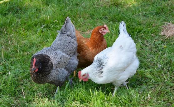 poules pondeuses 5 mois Sussex etc... - Photo 4