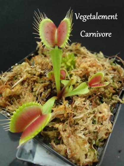 Plantes carnivores en tout genre