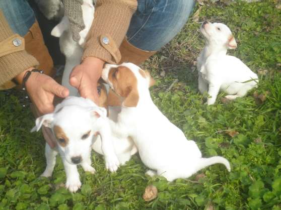 M le type jack russel pure race pour sai gigean animaux for Code postal gigean