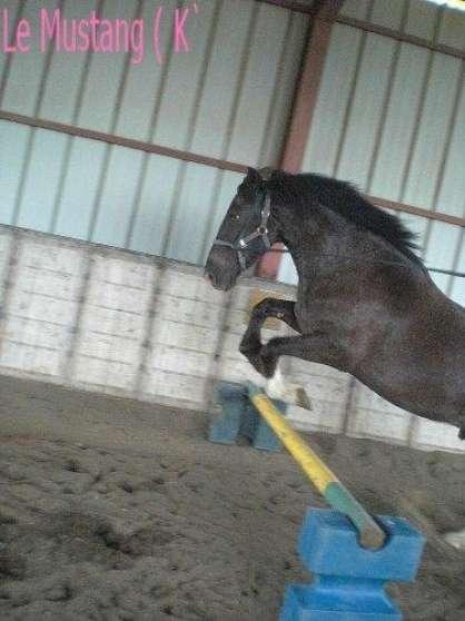 Petite Annonce : Poney 5 ans - Trés bon poney 5ans idéal pour la balade mais encore pour le saut,