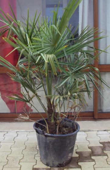 palmier résistant au froid -18°C