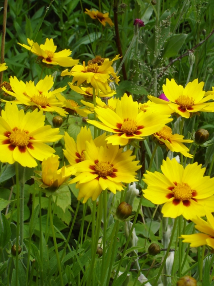 Annonce occasion, vente ou achat 'Coreopsis'