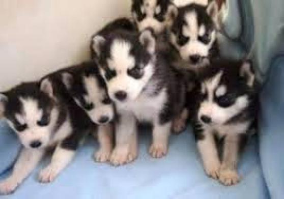 Annonce occasion, vente ou achat 'donne 7 chiots husky siberien lof'