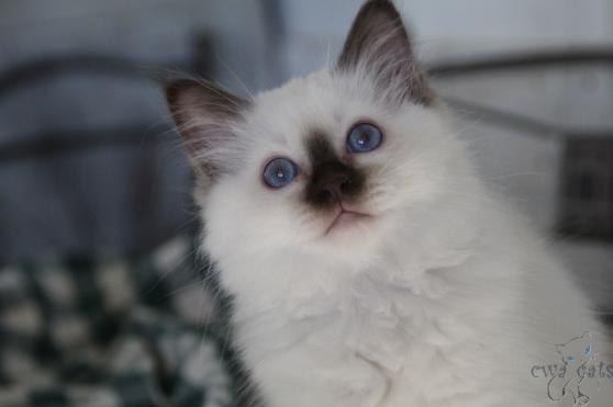 chatons loof Sacré de Birmanie